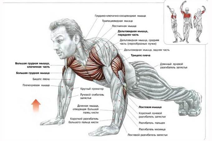 Схема мышц работающих при отжимании