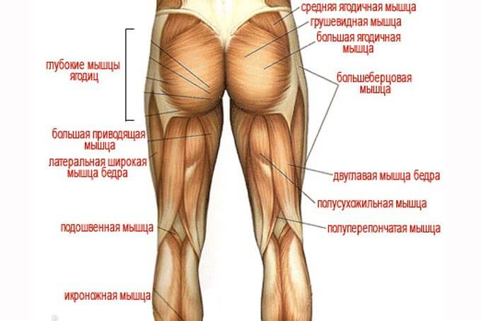 Схема мускулатуры ног